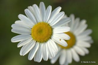 Photo: Ox-eye daisy