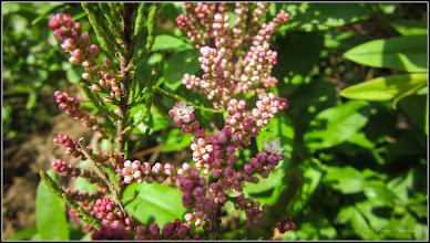 Photo: Cătină (Tamarix ramosissima) si  (Hippophaë rhamnoides L.) - de pe Calea Victoriei, Nr.5, spatiu verde, gard viu - 2017.05.02