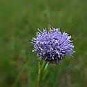Kleine Kugelblume