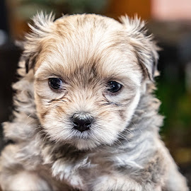 Jazzy by Craig Eastley - Animals - Dogs Puppies ( puppy, fury, animal, pup, dog, pet )