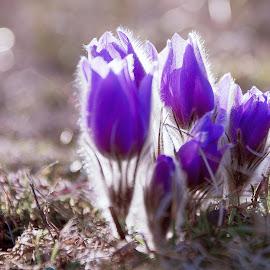 Pulsatilla by Petr Olša - Flowers Flower Buds