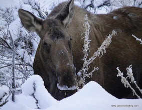 Photo: Mama moose in the hills above Homer