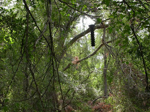 Photo: Lindgren Funnel Trap hoisted up a tree.  Such traps mimic a tree's trunk.
