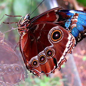 Reflection of a butterfly by Perla Tortosa - Animals Insects & Spiders ( circles, butterfly, reflection, color, insect,  )