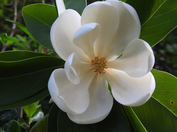 Flowering plants, such as this magnolia, evolved during the age of the dinosaurs.