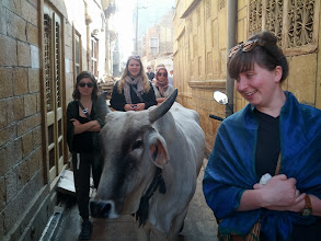 Photo: A cow joined our walking tour for a bit.