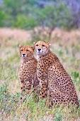 Леопарды довольно редко позируют