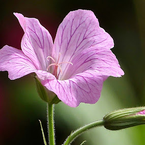 Geranium, Hardy. by Martin Brown - Flowers Flower Gardens ( nature, geranium, lumix, garden, flower,  )