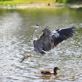 An incoming Grey Heron !! by Tony Steele - Animals Birds ( heron )
