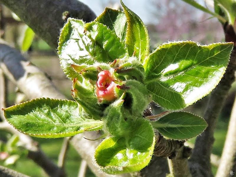 019-04-01 LüchowSss Garten nicht bekannte Apfelsorte (Malus domestica) Knospen an der Terrasse