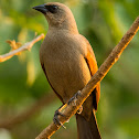 Asa-de-telha(Bay-winged Cowbird)