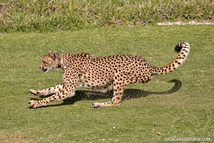 Cheetah Run San Diego Zoo Safari Park.