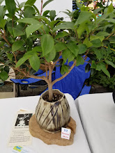 Photo: Your Own Bonsai Tree Thanks to Lucy of Bonsai Akira http://www.bonsaiakira.com/