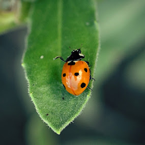 Lady bug by Arslan Mughal - Animals Insects & Spiders ( lady bug, ladybug )