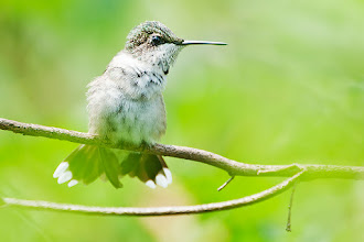 Photo: Young male hummer fluffs up his wings.