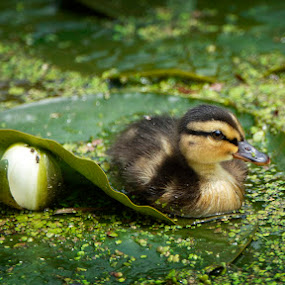 Little duck resting on a lily leaf by Leticia Cox - Animals Birds