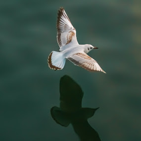 Shadow by Rajesh Loganathan - Animals Birds ( seagal, water, bird, flying, fly over water, surface, fly, shadow, white, sea )