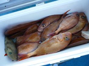 Photo: クマガイさんのクーラーBOX。真鯛15匹。