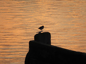 Photo: Priorslee Lake Distinctive silhouette: the first Common Sandpiper on Spring passage greets the dawn. (Ed Wilson)