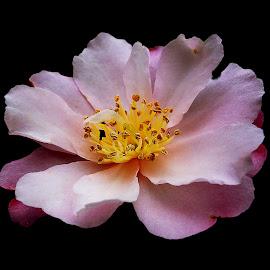 Camellia by Dee Haun - Flowers Single Flower ( pink, 190215r0233ce1, single flower, camellia, flower,  )