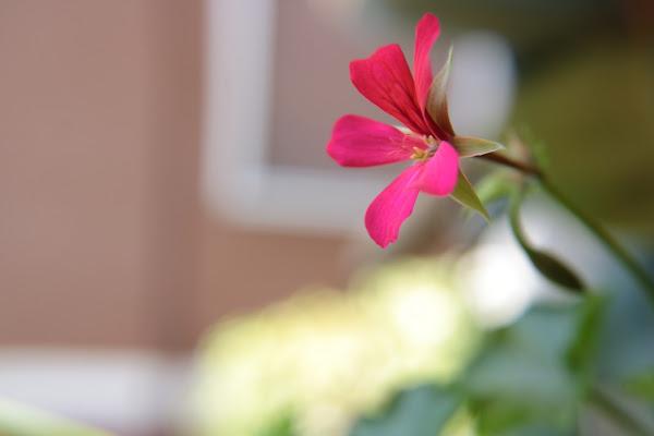 Fiore rose di Imr