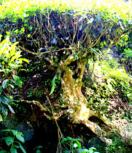 Photo: Year 2 Day 115 - Old Wizened Trunk of a Tea Bush