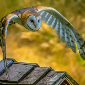 by Keith Sutherland - Digital Art Animals ( face, canada, owl, tyto alba, flying, barn owl, wild animinal, wild bird )