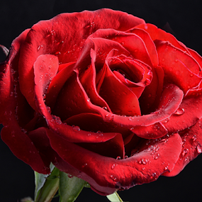 by Sam Song - Flowers Single Flower (  )