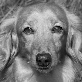 Greyed Jamie by Chrissie Barrow - Black & White Animals ( monochrome, dachshund (miniature long haired), pet, grey, dog, mono, portrait, animal )