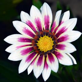 beautiful gazania by LADOCKi Elvira - Flowers Single Flower