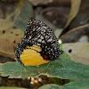 The Jezebel Palmfly