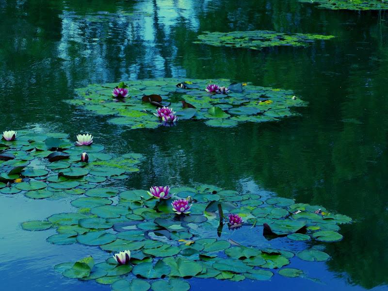 Ninfee  da Claude Monet di PaoloRd