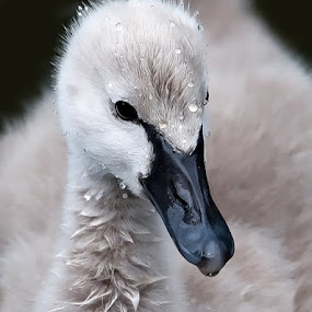 by Shelly Wetzel - Animals Birds ( baby swan )