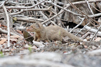 Photo: Small Indian Mongoose