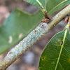 River Birch Dagger Moth