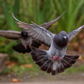 Pigeon Angels by Raphael RaCcoon - Animals Birds ( pigeon, pigeons, flying, landing, birds )