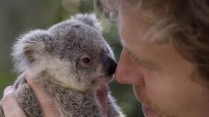 Island of Koalas thumbnail