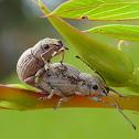 Oriental Broad-nosed Weevil