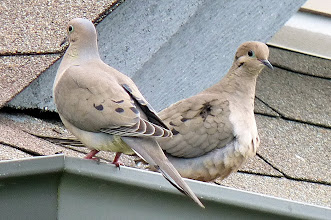 Photo: A pair of Mourning Doves on a roof.
