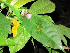 Photo: Bolivian spider