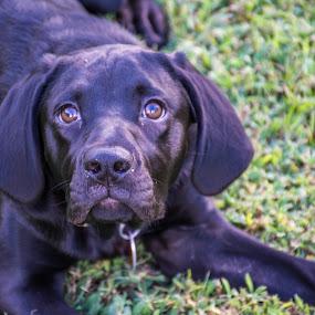 The Look by Thomas Shaw - Animals - Dogs Portraits ( nose, labrador, yard, black dog, nikon d7200, lab, eyes, nikon, ears, black labrador, grass, legs, animal, labrador retriever, dog, black lab, photography,  )