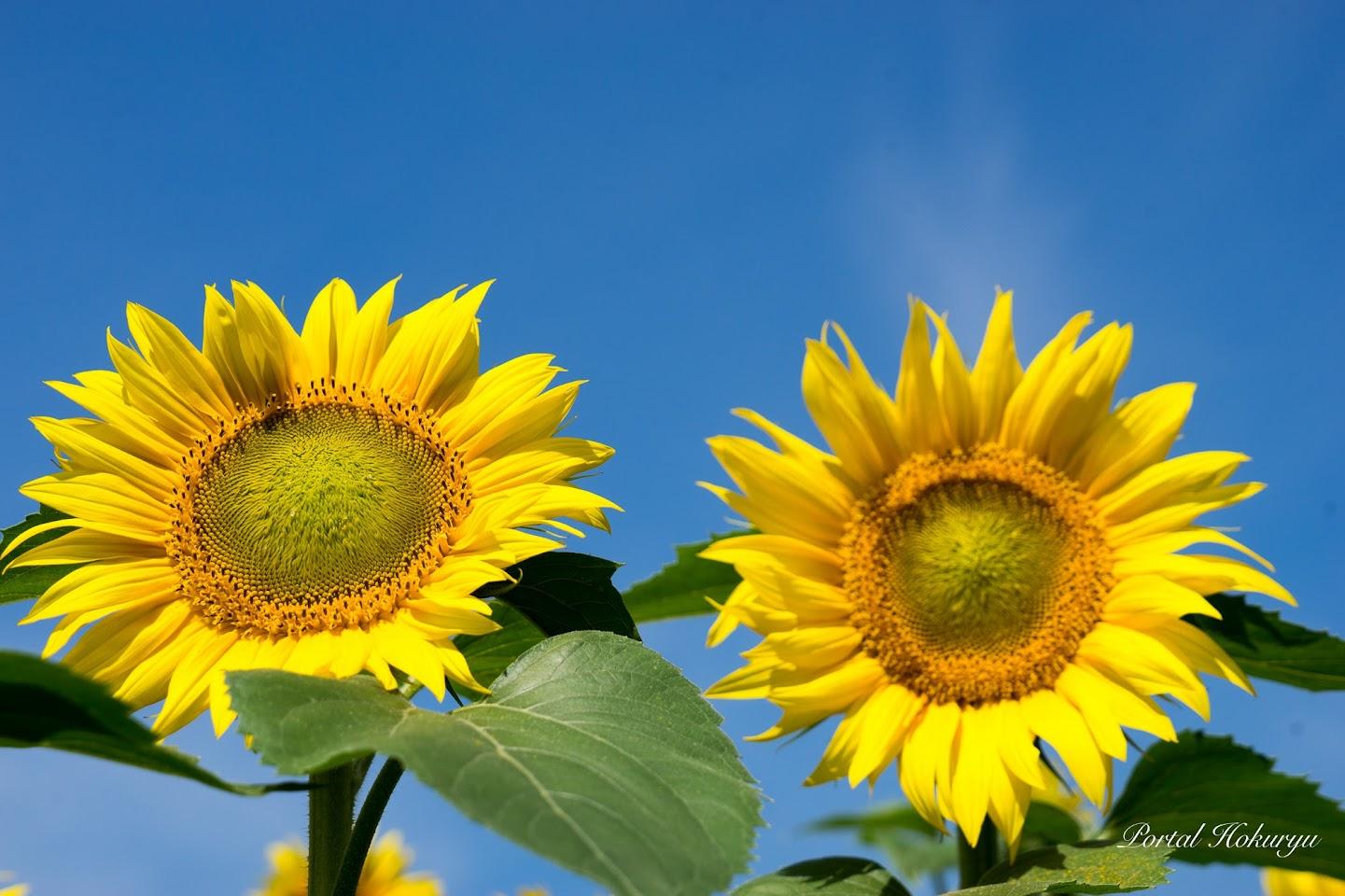 青空に輝く幸せの花・ひまわり♡