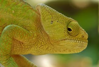 Photo: Chamäleon 4: Das Chamäleon ist das einzige Tier mit einer 360°-Rundumsicht. Unabhängig voneinander können die Augen in verschiedene Richtungen schauen - sogar in völlig entgegengesetzte!
