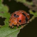 Epilachna Lady Beetle