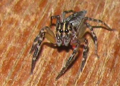 Ecuador Jumping Spider