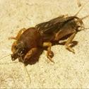 Northern Mole Cricket