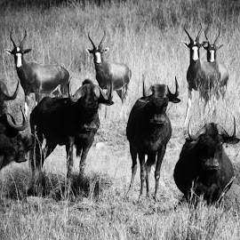 Horns at the ready. #blesbok #blesbuck #blackwildebeest #swartwildebees #glengarry #gamelodge #cathcart #easterncape #southafrica #bw #blackandwhite #canon #canonsx50hs by Deon Strydom - Black & White Animals