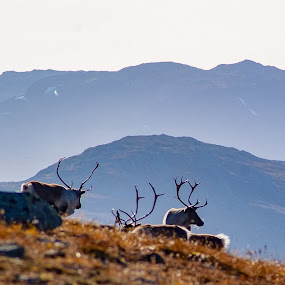 A little piece of Norway by Morten Johnsrud - Animals Other ( sony, reindeer, mountains, nature, landscape, jotunheimen, norway, a200 )