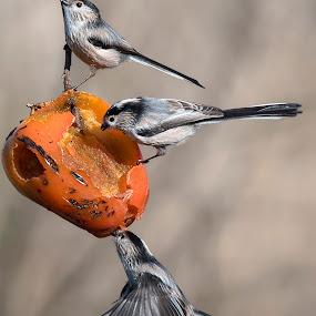 si mangia!  by Mauro Rotisciani - Animals Birds ( 3, ali, fruit, tree, fly, volo, birds )