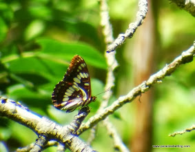 Photo: Lorquin's Admiral, Cold Springs, Sisters, OR